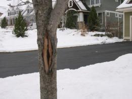 A Tree with Sunscald Damage